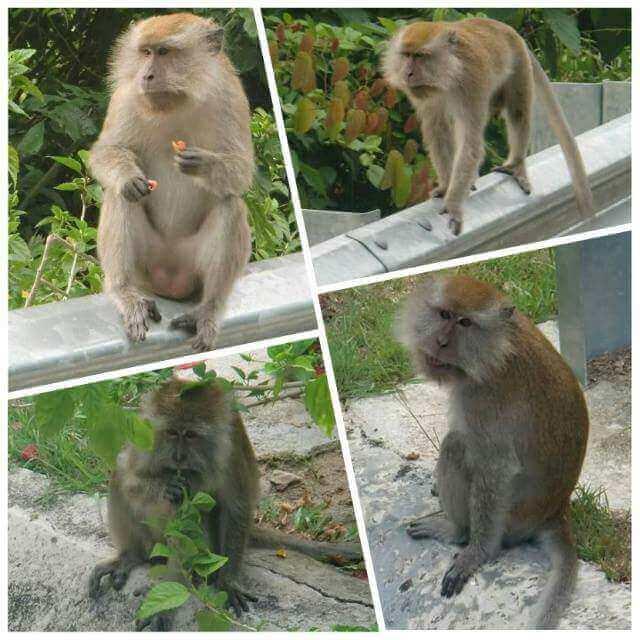 Macaque Monkeys in Tioman
